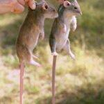Психология крысы и человека – что у них общее?